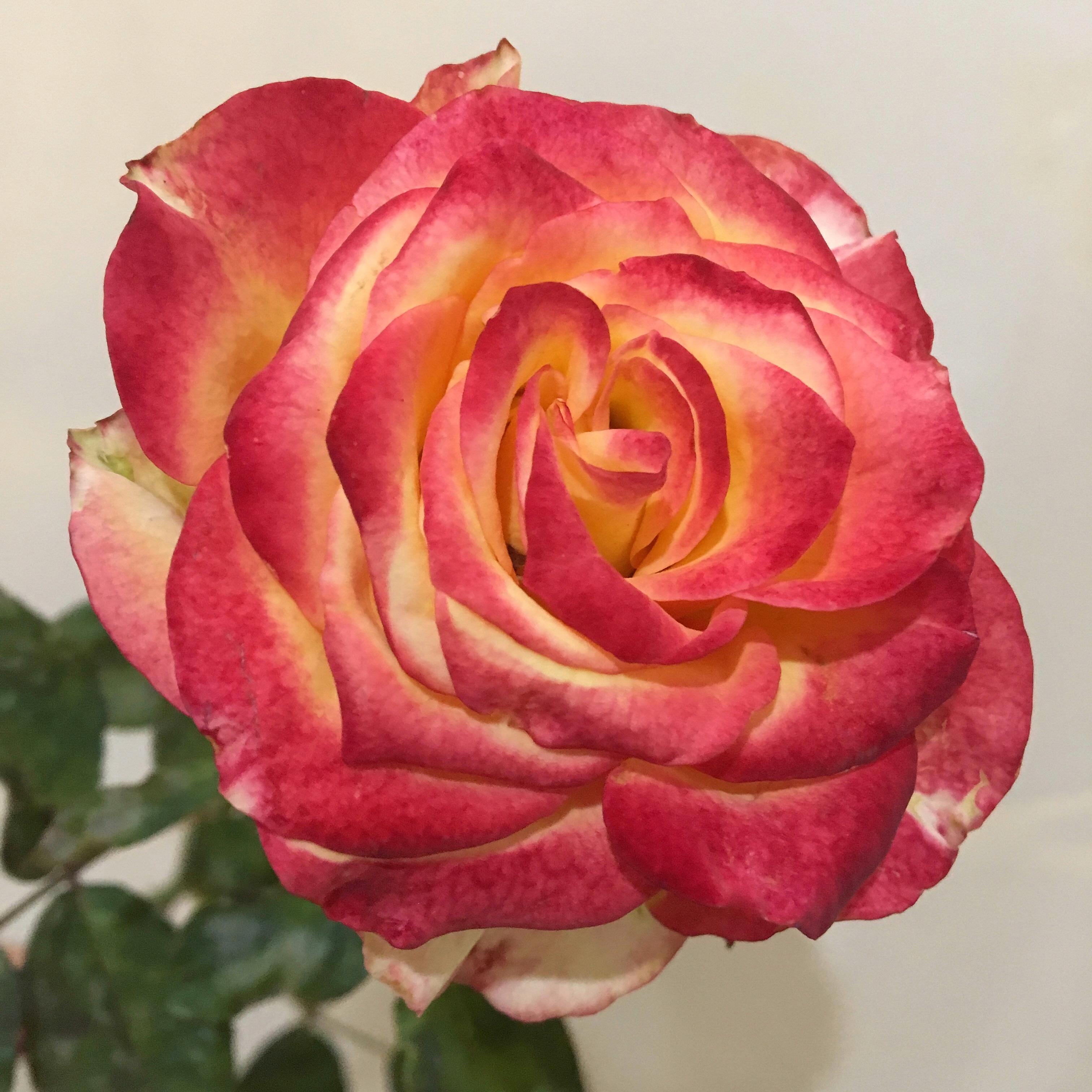 нее роза утопия фото этой